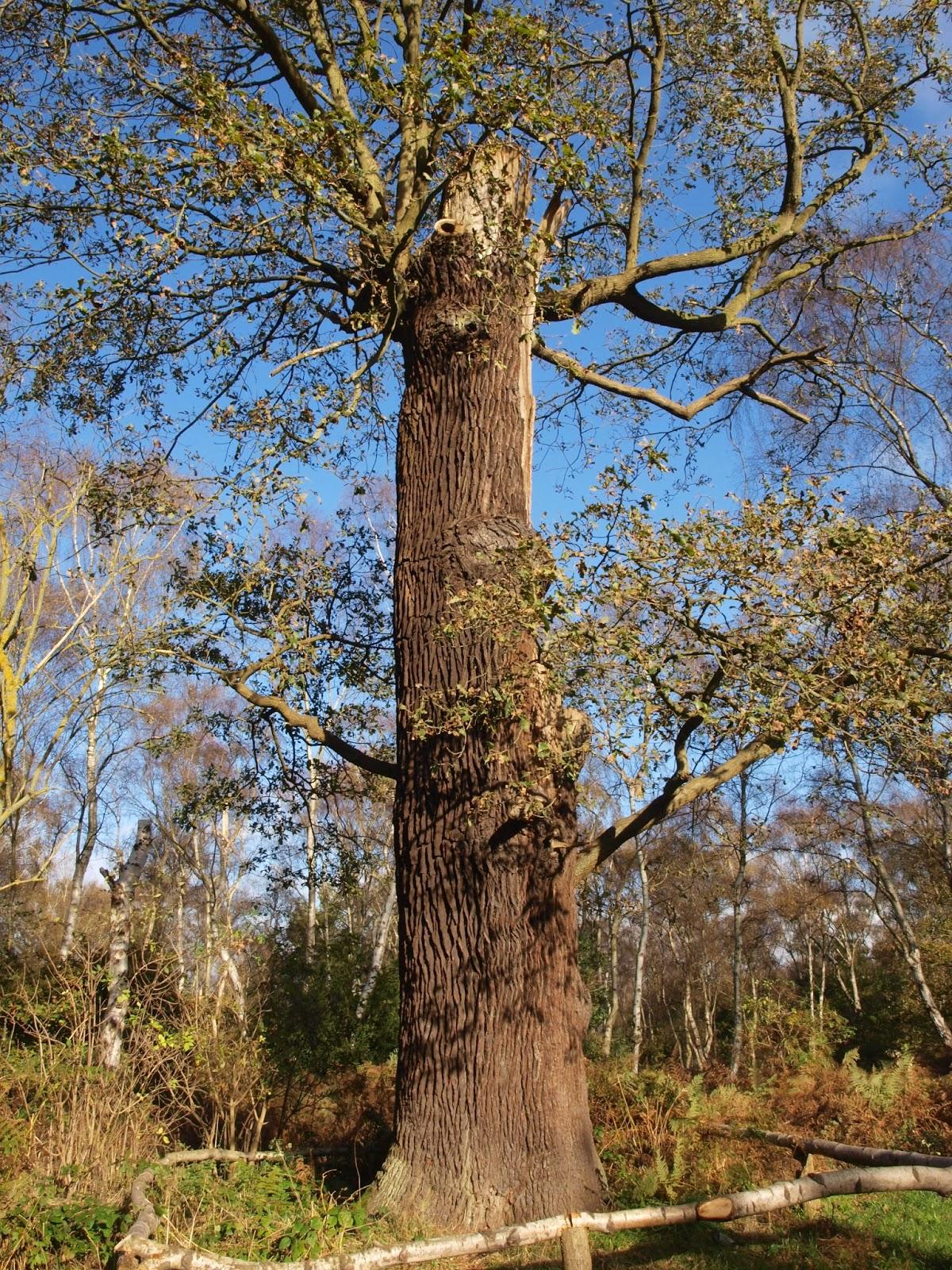 Ragged Robin\'s Nature Notes: Ancient Oaks, Robin Hood and the Green Man