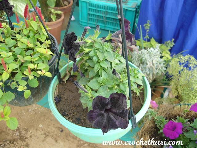 Ahmedabad flower show black petunia