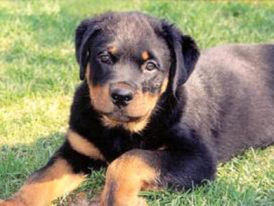 Top 10 Worlds Smartest Dog Breeds rottweiler