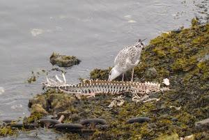 Seagull feeding on a seal carcass