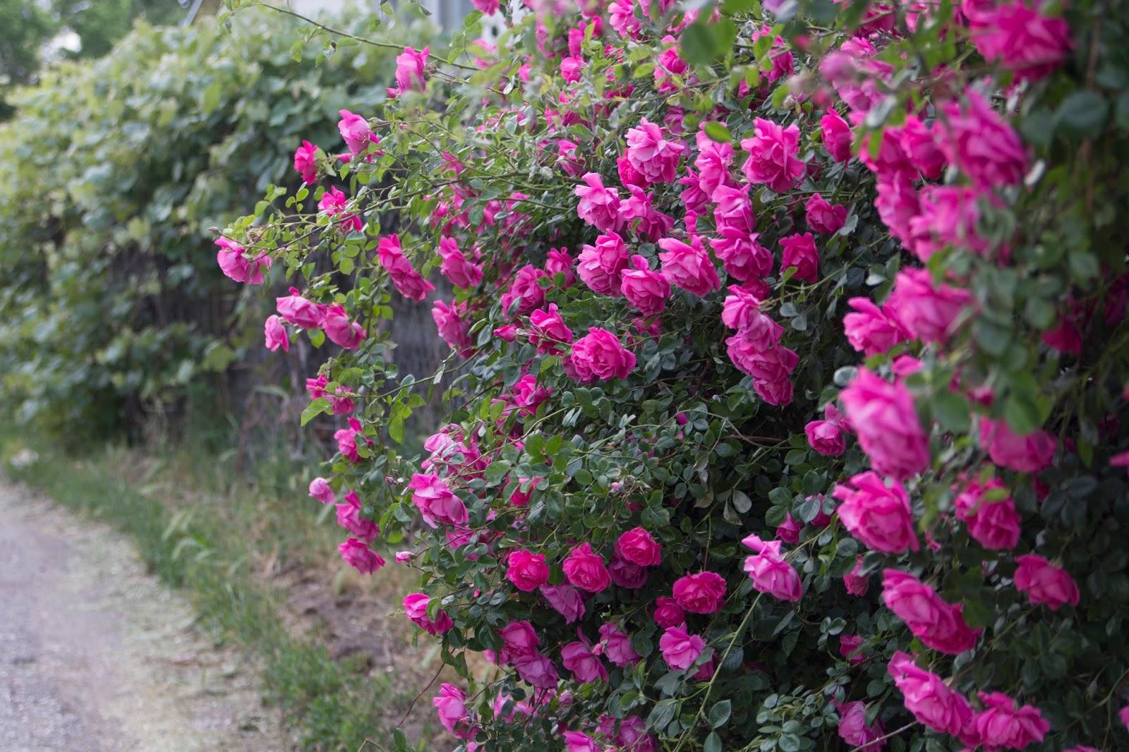 Pink Roses Corinas Corner