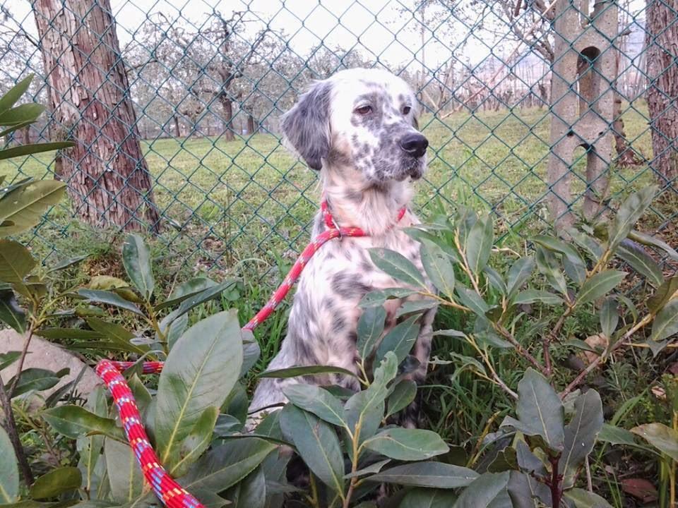 setter adozione cane caccia