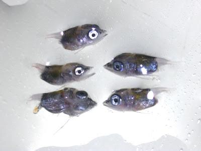 Billfish larvae