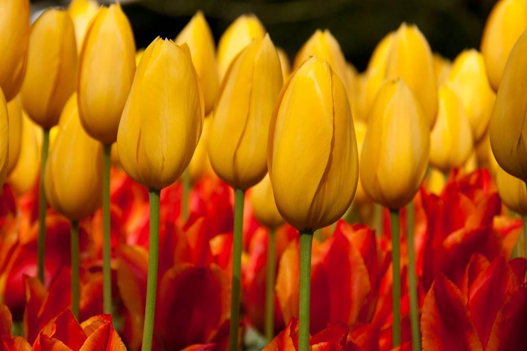 yellow tulips close up macro bokeh