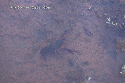 Cangrejo americano (Procambarus clarkii)