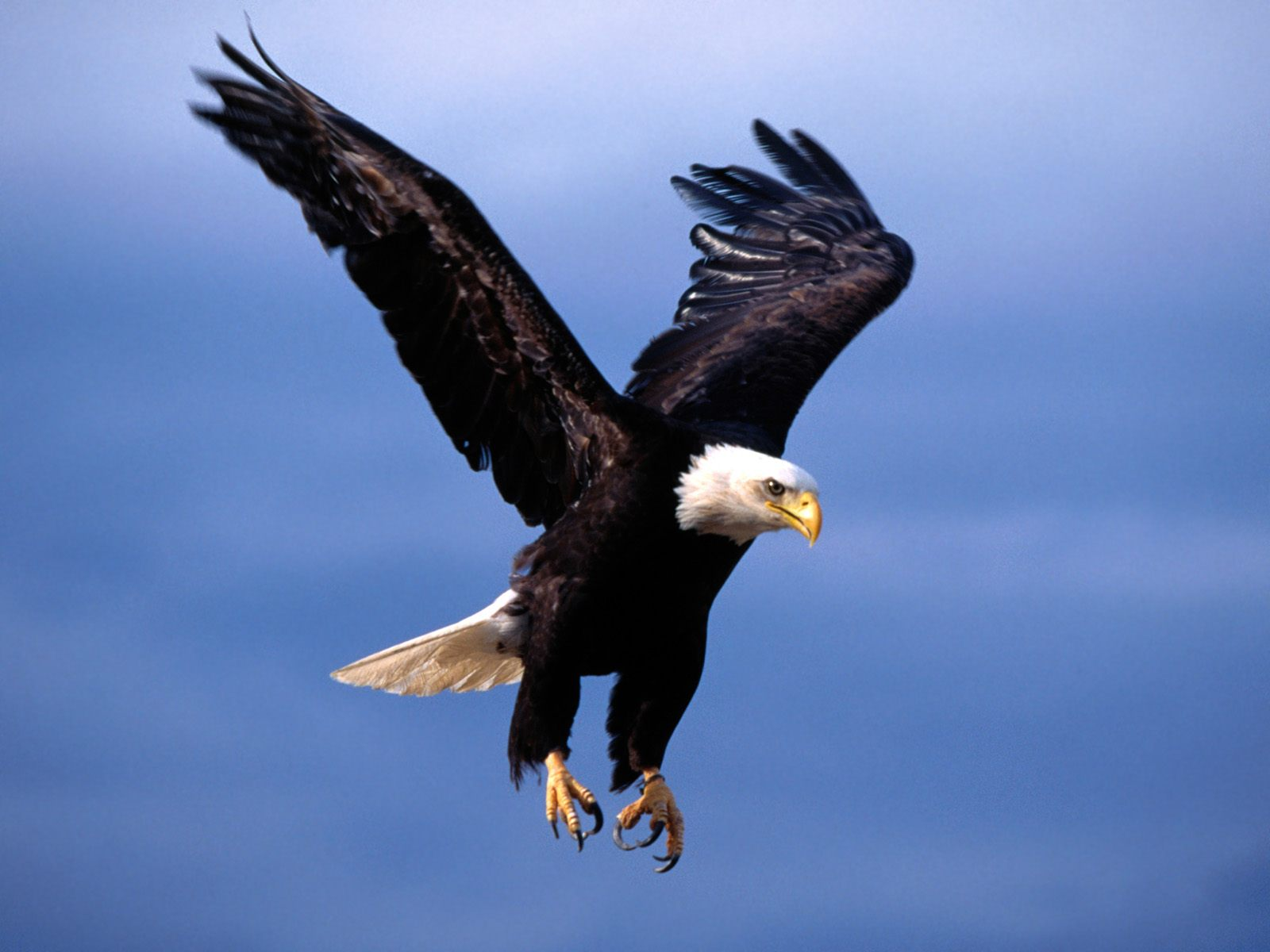 http://4.bp.blogspot.com/-r5iJyX0gWyo/TjmQ0xspCzI/AAAAAAAAAO0/7UK4OeonTps/s1600/Bald+Eagle+Wallpapers+2.jpg