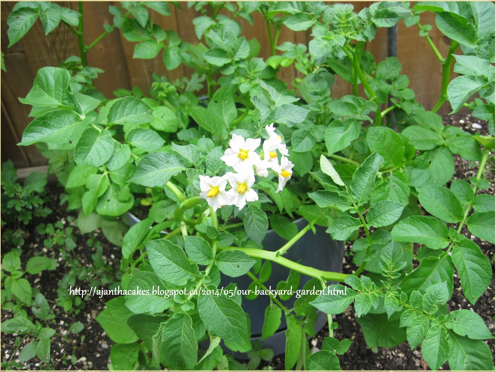 Our Back yard Garden, Our Garden, எங்கள் வீட்டுத் தோட்டம்., Potato
