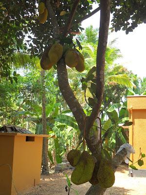 Джекфрут на дереве