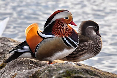 Animal, Bird, Duck, Color, Wood, Female, Male, Mandarin, Zoo, America, Washington DC, National, UK, Grey, Flank, Bill, China,