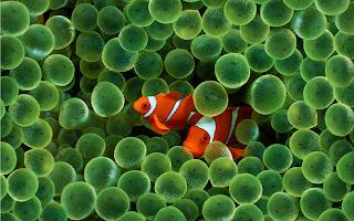 peces payasos entre medusas
