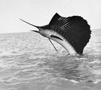 Beautiful Fastest Fish In The World Sailfish