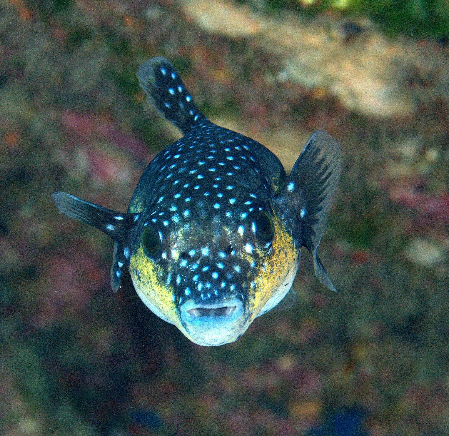 under pressure world: Guineafowl Pufferfish (juvenile)- Socorro ...