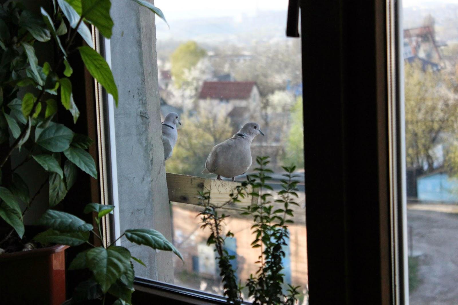 голуби на подоконнике, голубь, птицы, кормушка для птиц