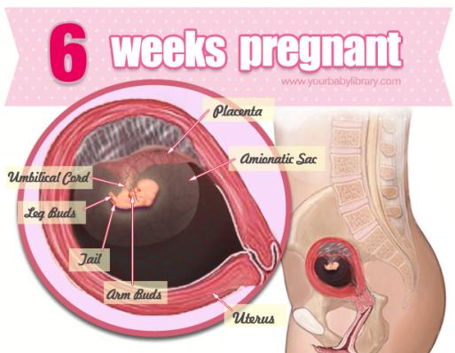 6 uger henne
