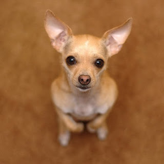 cute Chihuahua dog standing and seeing towards the photographer image