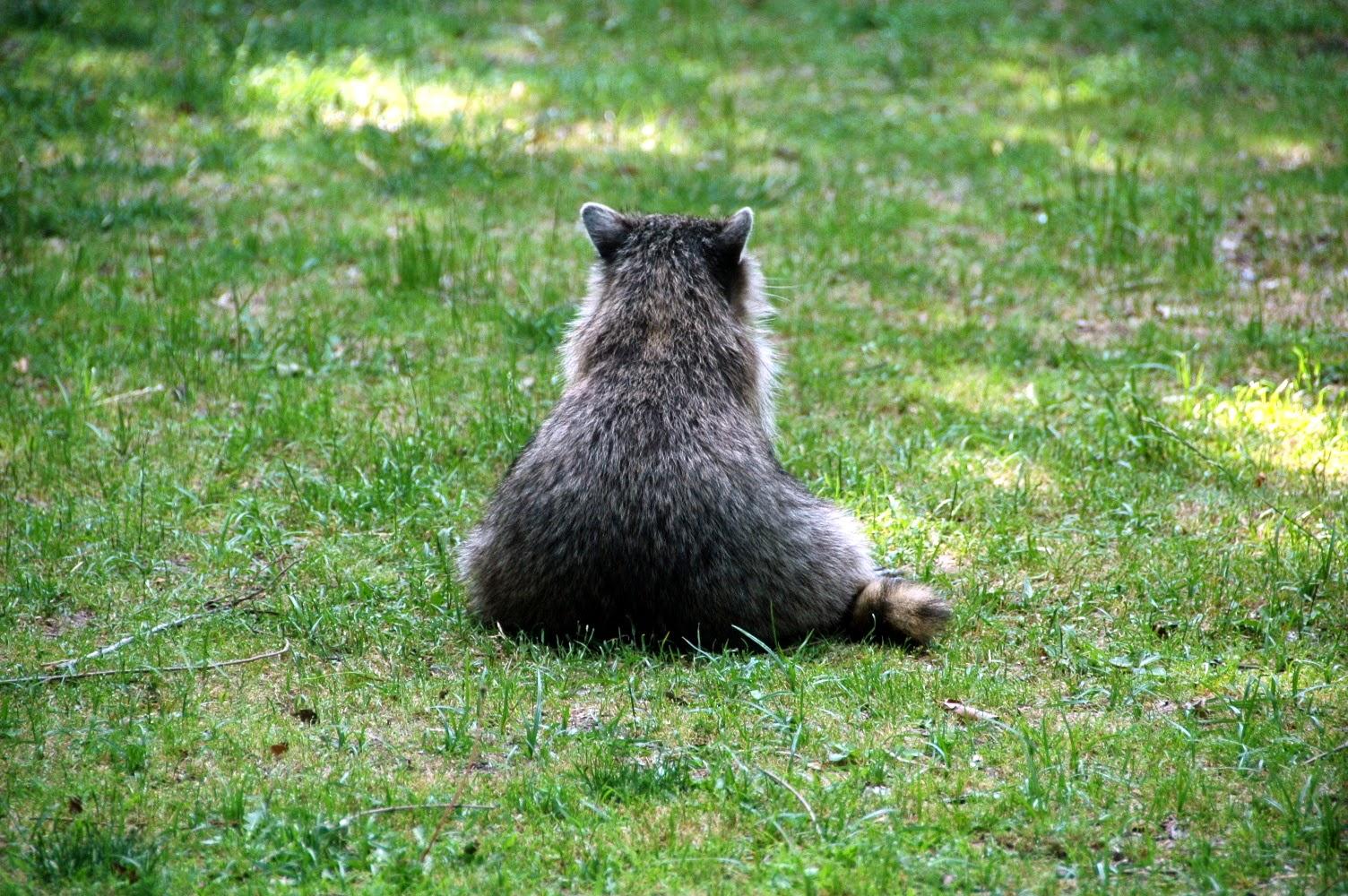 fat mama raccoon enjoying a sit in