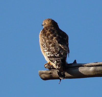 red-shouldered hawk back