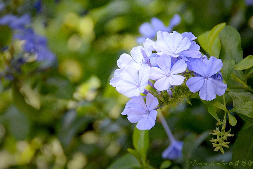 Plumbago or Leadwort (Plumbago auriculata)