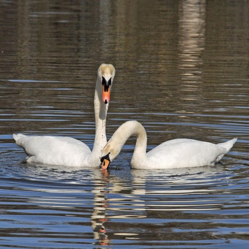 mute swans courtship display