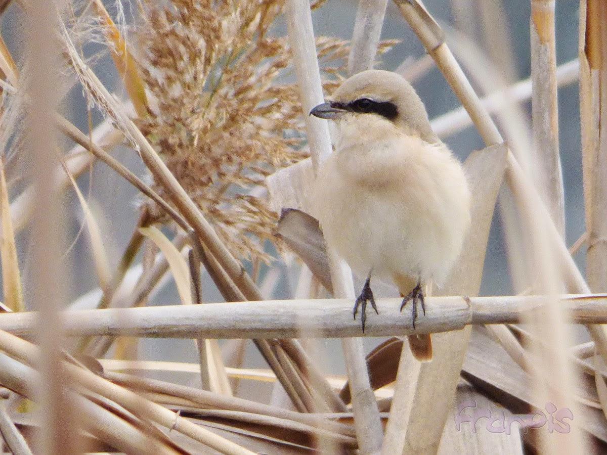 Alcaudón Isabel (Lanius isabellinus) Isabelline Shrike