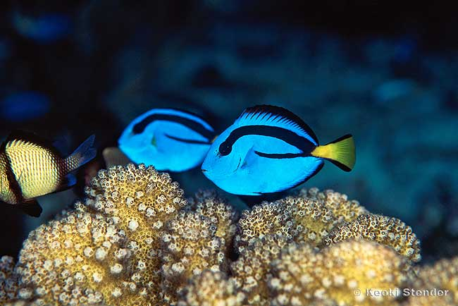 Blue tang fish animal literature for Blue tang fish facts