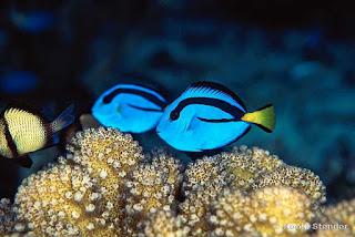 Blue Tang Fish image