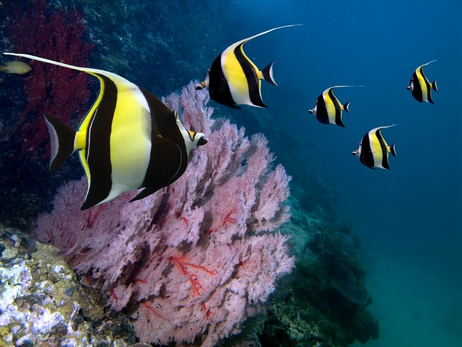 Golden eye view top 15 most beautiful fishes of the world for Moorish idol fish
