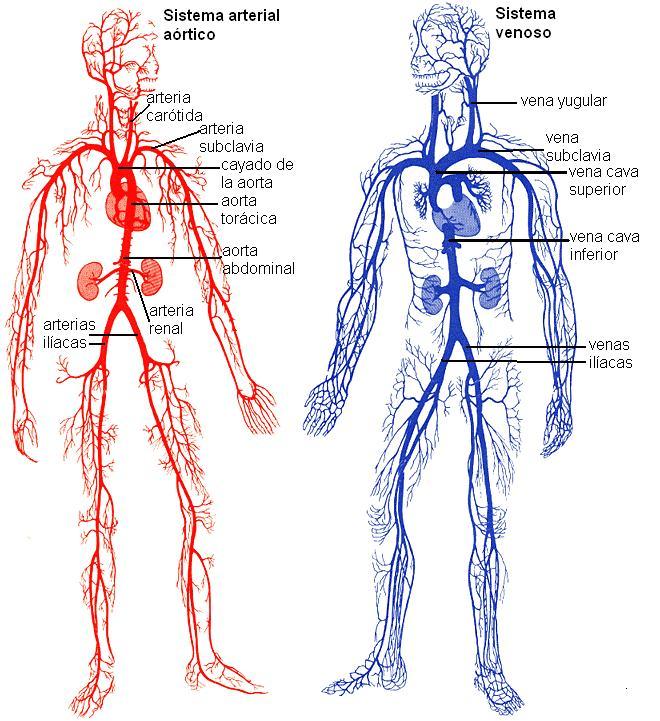 SISTEMAS HUMANOS: Vasos capilares, Sangre y Plasma