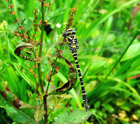 Golden-ringed Dragonfly immature female
