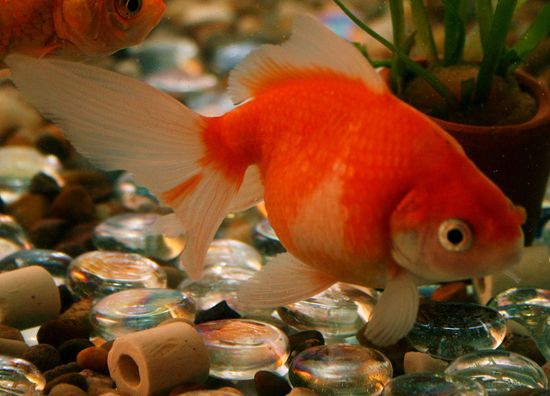 Ping Pong Pearlscale Goldfish