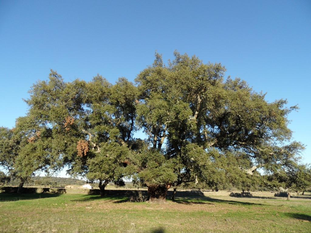 Resultado de imagen de arbol singular de Bodonal de la Sierra