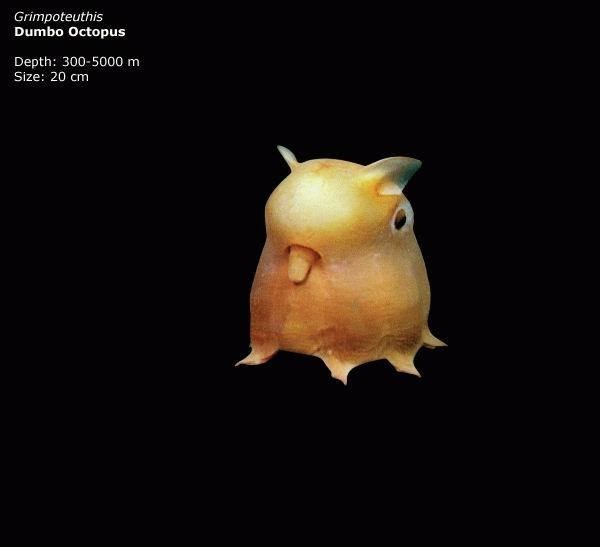 Mariana trench - Grimpoteuthis - Dumbo Octopus