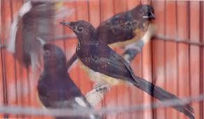 Cara Jitu Beternak Burung Murai Batu