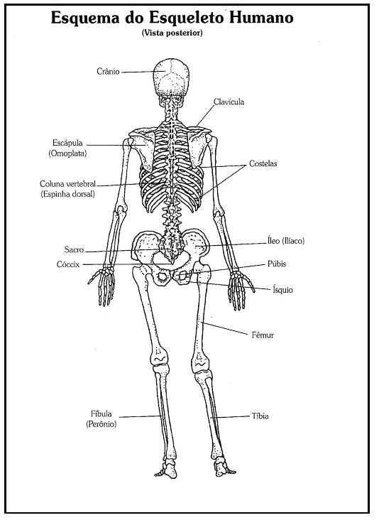 Fantástico Diagrama De Un Esqueleto Festooning - Anatomía de Las ...
