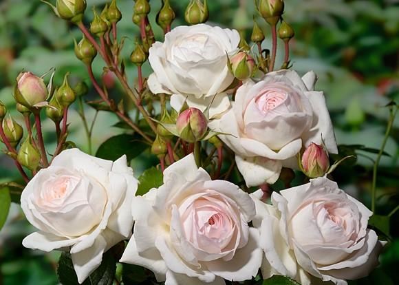 Ledreborg rose сорт розы фото
