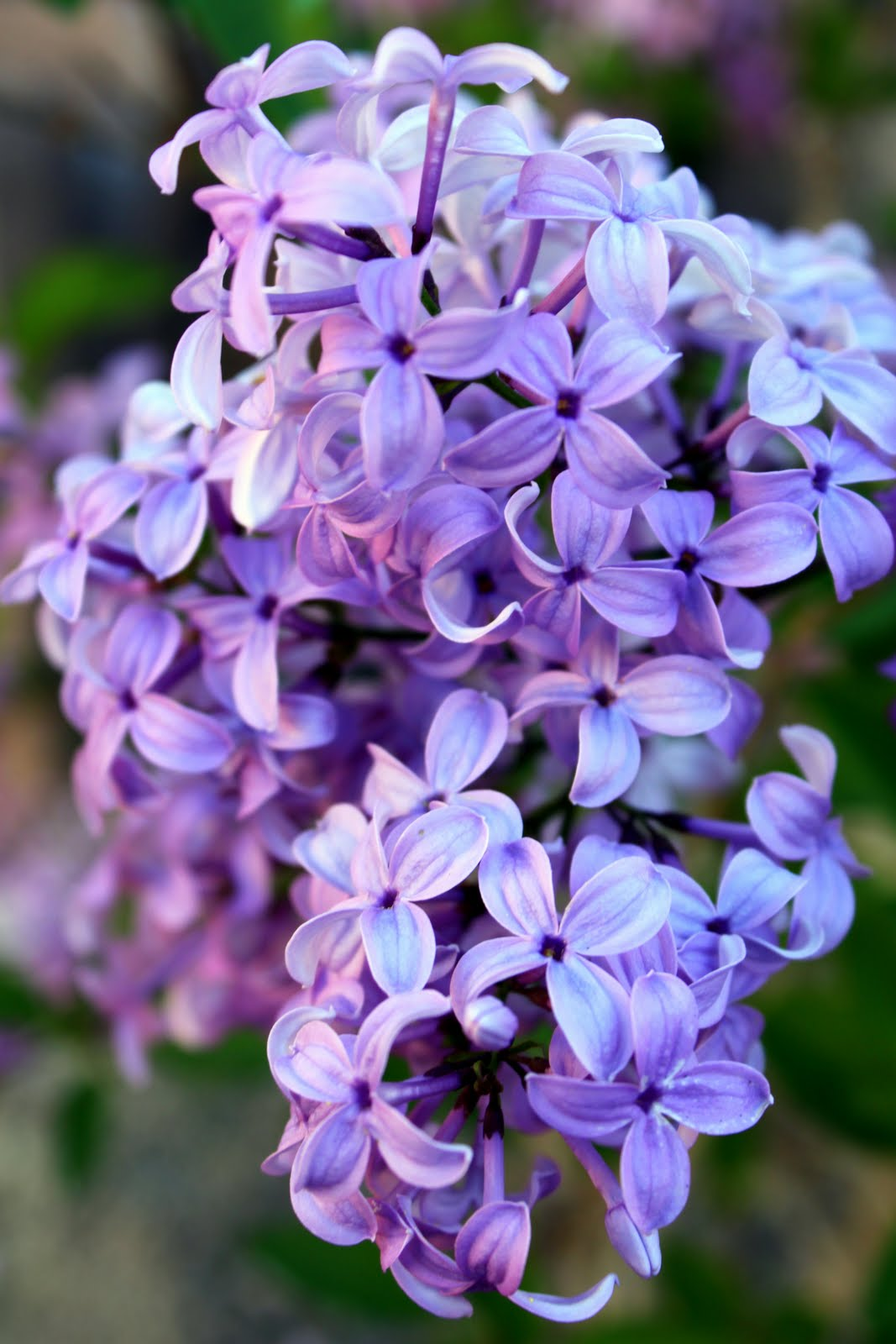 Sunny Days: Loving our Lilacs