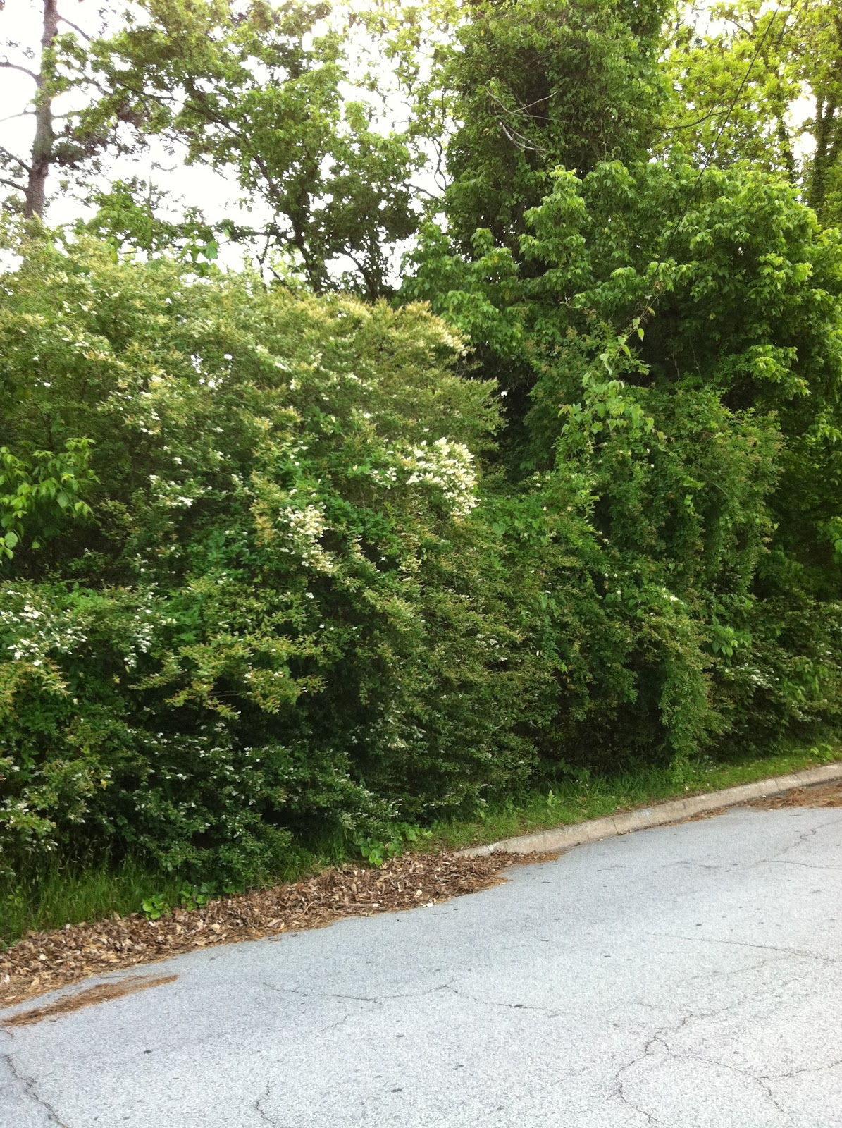 Fast growing shrubs for privacy hedges pictures - Shrubbery for privacy ...