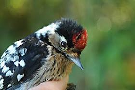 L.S Woodpecker