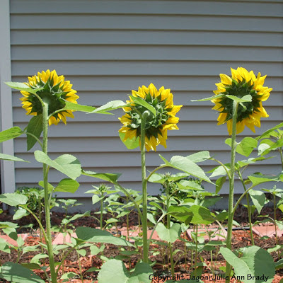 Green Backs of the Three Impressive Yellow Sunflower Blossoms