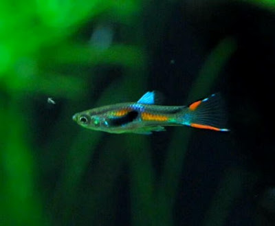 Endlers Livebearer Fish With Pictures Fish Pictures Online