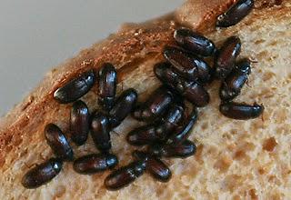 gambar semut jepang