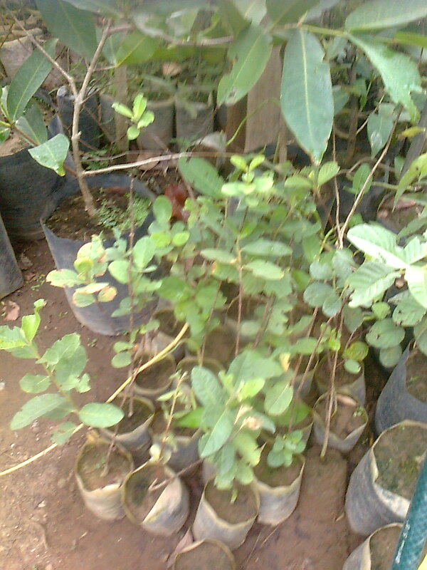 Fruit trees for sale guava grafted seedling for sale for Fruit trees for sale
