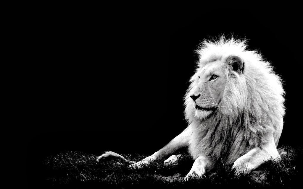 лев черно-белая картинка