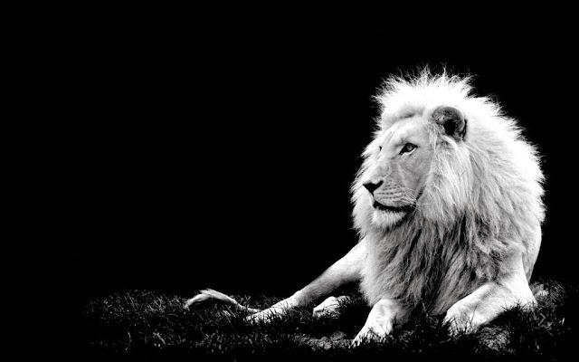 лев лежит