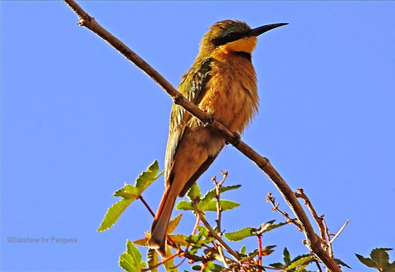 blue breasted bee eater on a branch