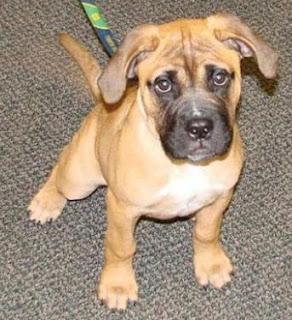 Bullmastiff Puppy Picture