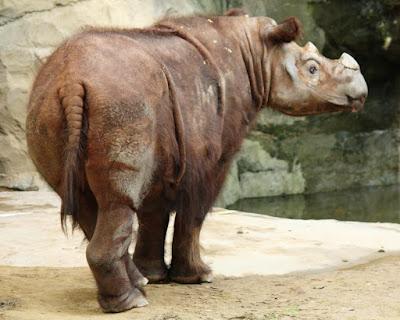 Rinoceronte, Rinoceronte da Sumatra, Sumatran Rhino, Dicerorhinus sumatrensis, Cincinnati Zoo, Animal, Extinção, Extinction, wildlife, Nature, animais, mamíferos, Sumatra