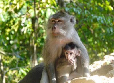 Tempat Wisata Pilihan Hutan Monyet Pusuk Lombok