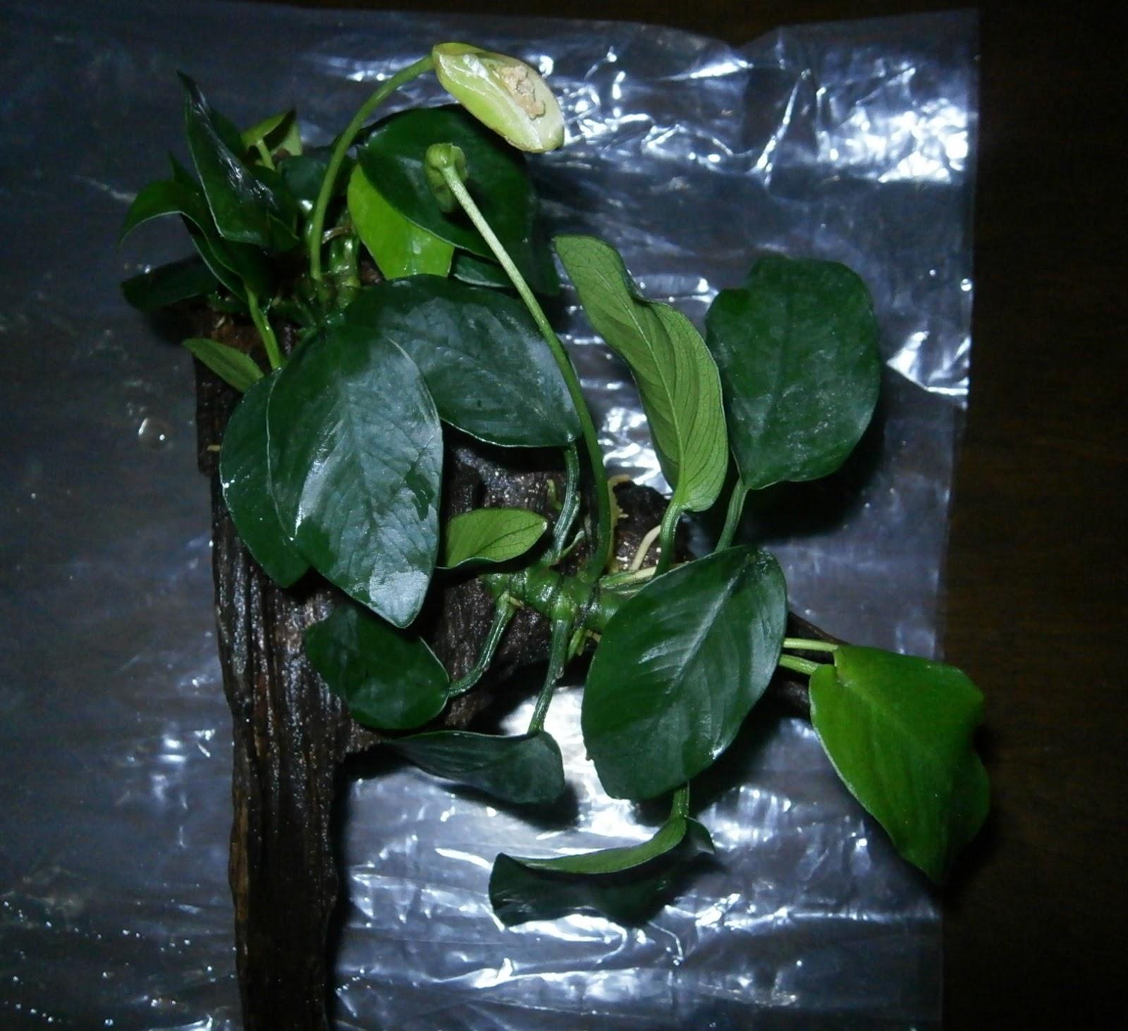 Aquascape Plants For Sale