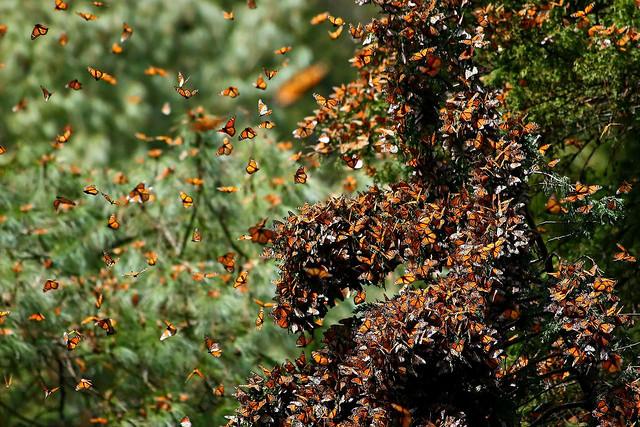 Migration de Papillons Monarques
